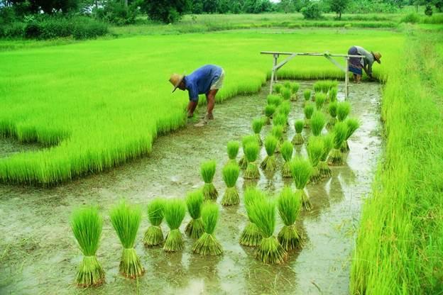 قیمت برنج طارم محلی